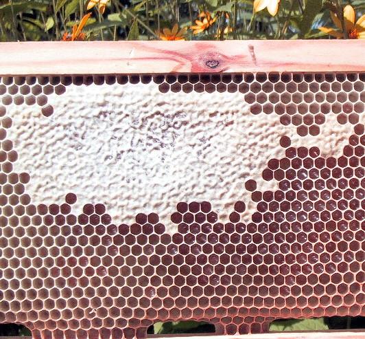 Рисунка 1: Перфектно изградена пита с размер на килийките 4,8 мм в диаметър. Основата е подадена на пчелно семейство, което се е развивало на големина на килийките 5,5 мм. Това е идеалният случай, въпрос на късмет, който не може да се очаква винаги. Снимка: Ерик Остерлунд.