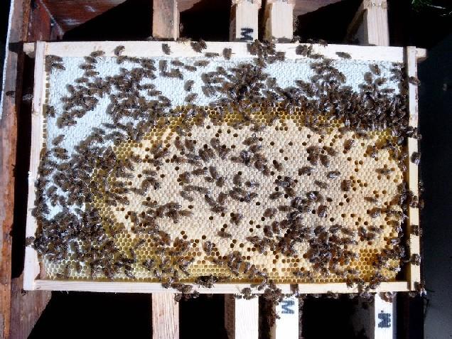 Рисунка 5: По-големи пчели също могат по принцип да градят на основи с размер 5,1 мм.